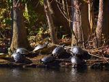 Turtles Sunning Closeup