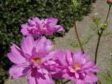 3 Pink Dahlias