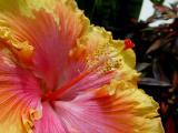 Hibiscus Stamens