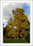 Longleat ~ tree and gulls