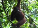 We meet an orang-utan as...
