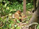 Macaque mother & baby wait for some food