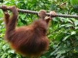 Another orang-utan, you'd better move