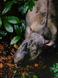 Sumatran Rhino(postcard)