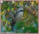 White-crested Laughingthrush (Garrulaxe à huppe blanche)