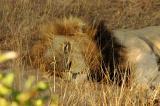 > Lions