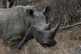 > Rhinos