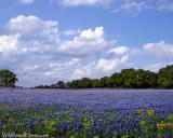Sea of Bluebonnets