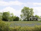 Texas Bluebonnets (0922)