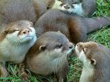 OTTERS & BABIES