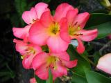 Pink Rhodendrons