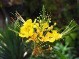 Dwarf yellow poinciana