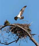 Osprey Landing Nest.jpg