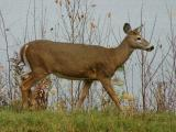 2004_1031_More  Deer