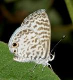 Cassius Blue - Leptotes cassius