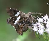 Falcate Skipper - Spathilepia clonius