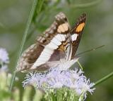 Silver Emperor female - Doxocopa laure