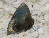Black Hairstreak - Ocaria ocrisia