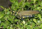 Lubber Grasshopper - Chromacris colorata