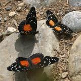 (2) Crimson Patch (Chlosyne janais), (1) Rosita Patch (Chlosyne rosita)