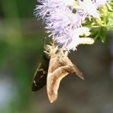 Tailed Aguna - Aguna metophis