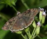 Mournful Duskywing - Erynnis tristis