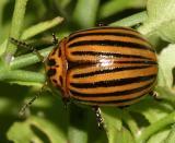 Leptinotarsa decemlineata  - Colorado Potato Beetle