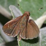 Clouded Skipper - Lerema accius (male)