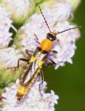 Belotus sp.