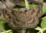 Mazans Scallopwing - Staphylus mazans (female)
