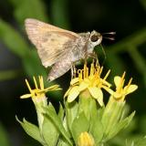 Sachem - Atalopedes campestris (male)