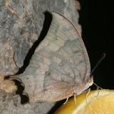 Tropical Leafwing - Anaea aidea