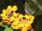 Lantana Scrub-Hairstreak (Strymon bazochii) on lantana