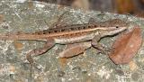 Texas Rose-bellied Lizard - Sceloporus variabilis