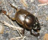 Gazelle Scarab - Onthophagus gazella (an introduced scarab beetle from Africa)