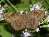 Sickle-winged Skipper - Eantis tamenund (female)