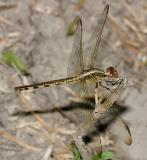 Band-winged Dragonlet - Erythrodiplax umbrata female