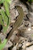 Texas Spotted Whiptail - Cnemidophorus gularis