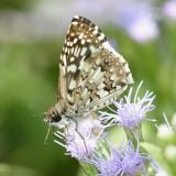 Tropical Checkered-Skipper - Pyrgus oileus