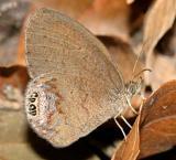 Gemmed Satyr - Cyllopsis gemma