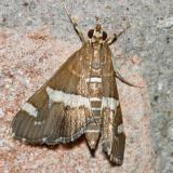 5170 -- Hawaiian Beet Webworm Moth -- Spoladea recurvalis