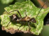 Nymph of a broadheaded bug, family Alydidae.-Hyalymenus tarsatus