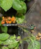 Blue Dasher - Pachydiplax longipennis (female)
