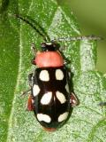Eight-spotted Flea Beetle - Omophoita cyanipennis octomaculata (Crotch)
