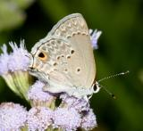 Mallow Scrub-Hairstreak - Strymon istapa