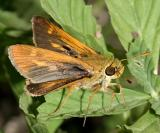 Southern Broken-Dash - Wallengrenia otho (male)