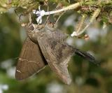 Brown Longtail - Urbanus procne