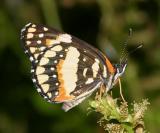 Bordered Patch - Chlosyne lacinia