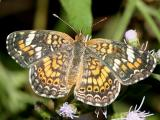 Phaon Crescent - Phyciodes phaon