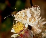 White Checkered-Skipper - Pyrgus albescens